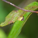 Riodinidae : Calospila emylius CRAMER, 1775, femelle. Piste de Coralie (Guyane). 26 novembre 2011. Photo : J.-M. Gayman