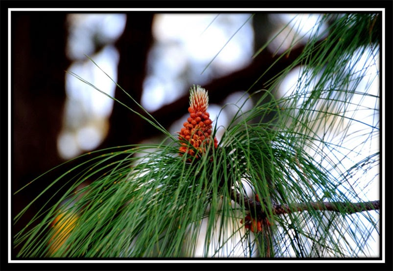 Pine Forest - Netarhat