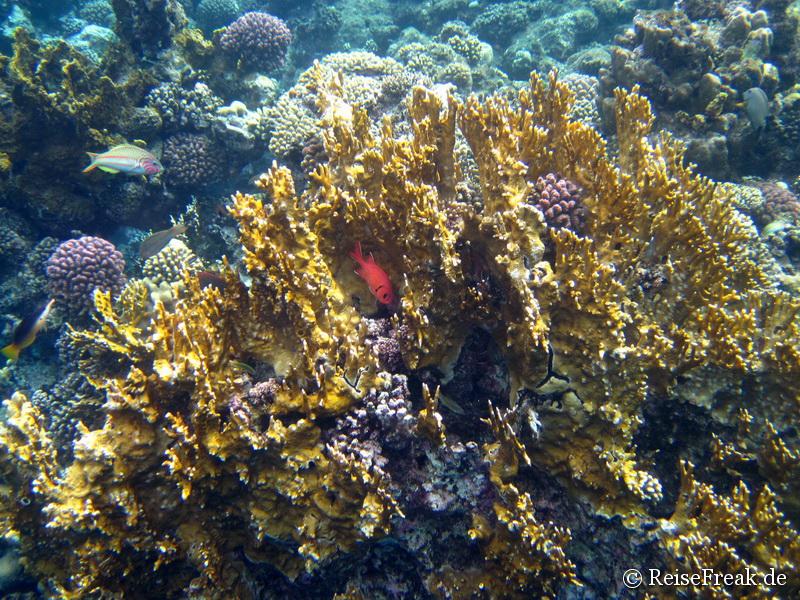004 Weißsaum-Soldatenfisch (Myripristis murdjan)   Ägypten Dez 2014 - Marsa Alam - Coraya Bay IMG_0268