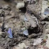 Polyommatus icarus (Rottemburg, 1775), ♂ et Cupido minimus (Fuessly, 1775). Ravin des Fouix (426 m), les Hautes-Courennes, Saint-Martin-de-Castillon (Vaucluse), 9 mai 2014. Photo : J.-M. Gayman
