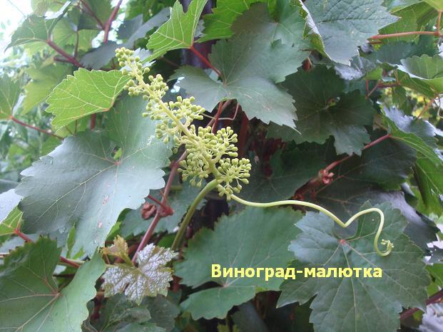 фрукт зелёный маленький