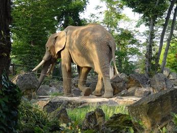 2017.08.26-069 éléphant d'Afrique