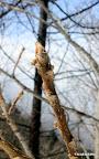ごぞんじ冬芽(トウガ)を覚えるならまず最初がこれ! 羊あるいはサルに見えるのがオニグルミ君です。この木はいかにも羊に見えますね! 冬は、花も葉もない季節だからこその樹木の魅力もいっぱい見つかります。