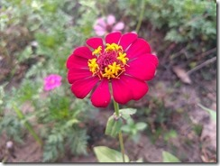 800px-Zinnia_single_layer_and_12_Petals_2