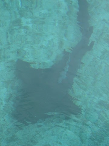 remora upside-down on nurse shark