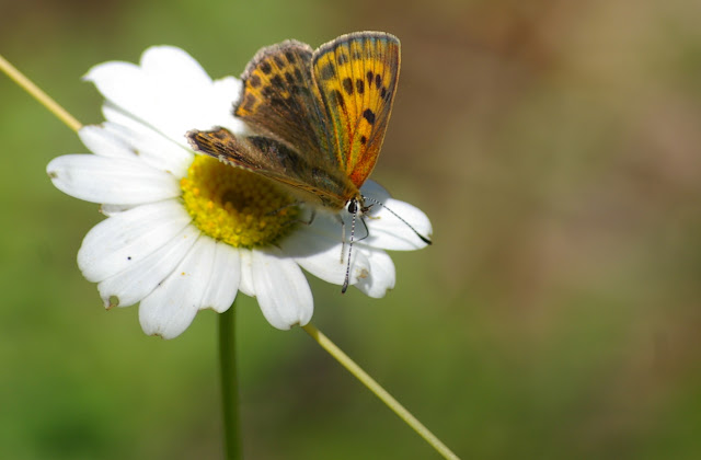 Heodes virgaureae LINAAEUS, 1758, femelle. Vallon Claous, 2000 m (Mélezen, Alpes-de-Haute-Provence), 7 août 2009. Photo : J.-M. Gayman