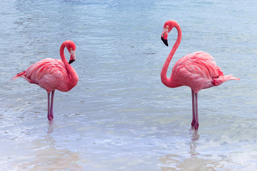 Flamingos on Renaissance Island in Aruba.
