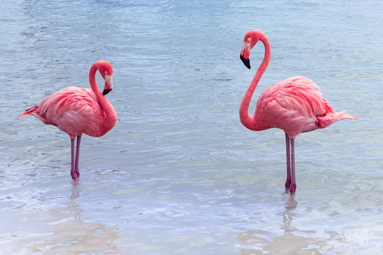 Flamingos on Renaissance Island in Aruba.