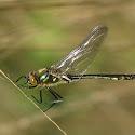 smaragdlibel.jpg