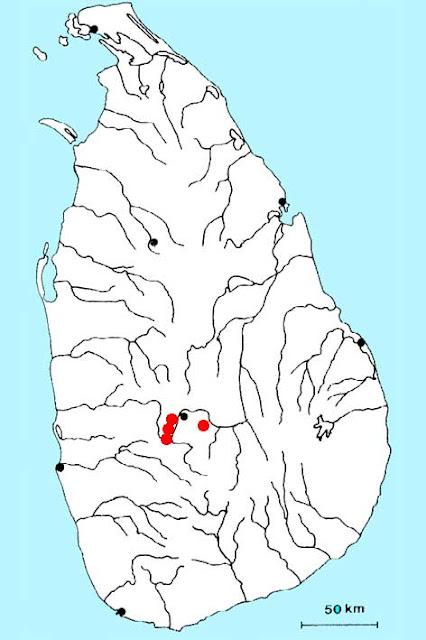 Криптокорина волнистая (Cryptocoryne undulata)