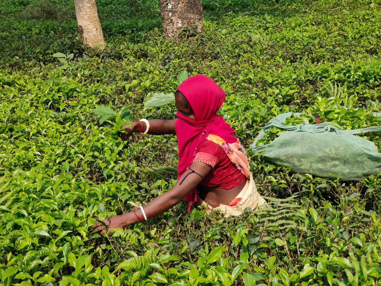 किशनगंज:चाय बगान मजदूरों को कोरोना से बचने को नियमों का करना होगा पालन