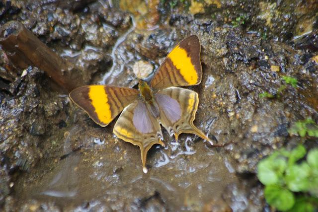 Marpesia corinna (LATREILLE, [1813]). Las Juntas, 1400 m (Carchi, Équateur), 4 décembre 2013. Photo : J.-M. Gayman