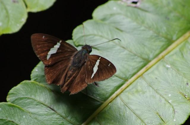 Hesperiidae : Autochton neis (GEYER, 1832). Sentier 2, Carbets de Coralie (Crique Fillon), 31 octobre 2012. Photo : J.-M. Gayman