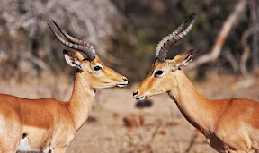Impala Males, South Africa