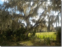 Spanish moss draping tree