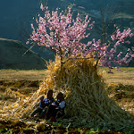 D 0401 Kids, Haystack, Peach Blossoms.jpg