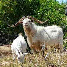 wild_goat_hunting_8L.jpg