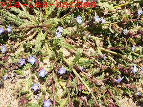 Buglosse crepue Anchusa crispa,Boraginacees.jpg