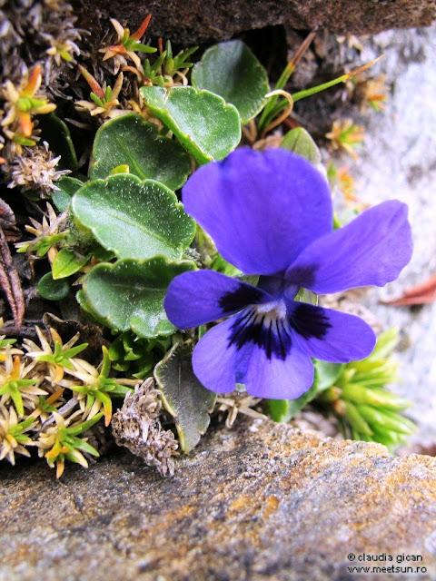 flori de munte mov: toporas de stanca