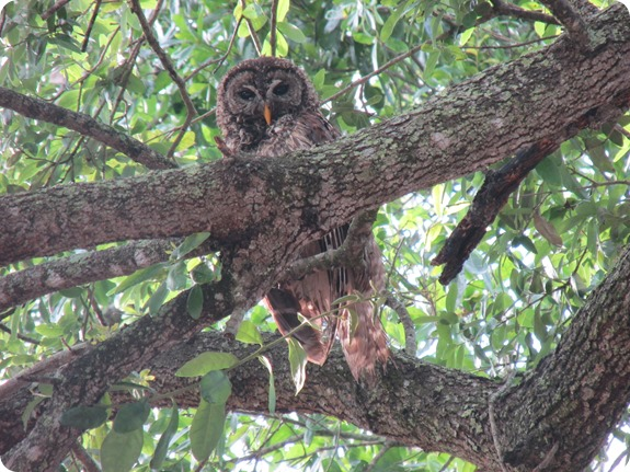 7 Barred Owl Strix varia (5)
