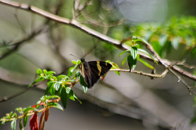 Autochton vectilucis (A. Butler, 1872). Mount Totumas, 1800 m (Chiriquí, Panamá), 23 octobre 2014. Photo : J.-M. Gayman
