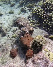 Photo: Sponge, Ircinia strobilina