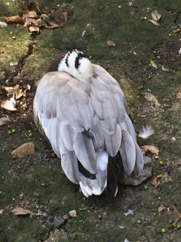 Zoo de Lille canard