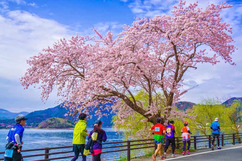 河口湖 長崎公園 桜 写真10