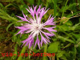 Centaure bleuet 6.jpg