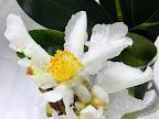 白色 一重 平開咲き 小〜中輪