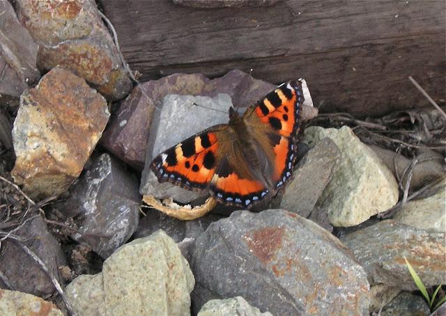 Aglais urticae L., 1758. Narichnyi (à l'ouest de Partizansk, Primorskij Kraj), 22 juin 2011. Photo : Jean Michel