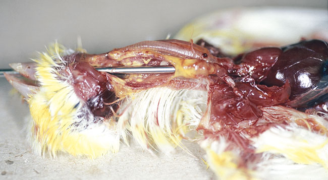An oral probe is passed down the opened esophagus in this canary with trichomoniasis
