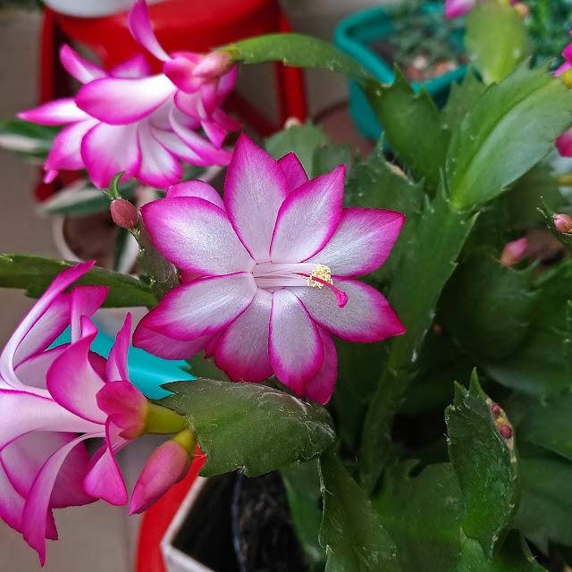 Flor de Maio ou Flor de Seda - Schlumbergera truncata.