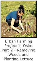 urban farming project in oslo - part 2 removing weed and planting lettuce seeds
