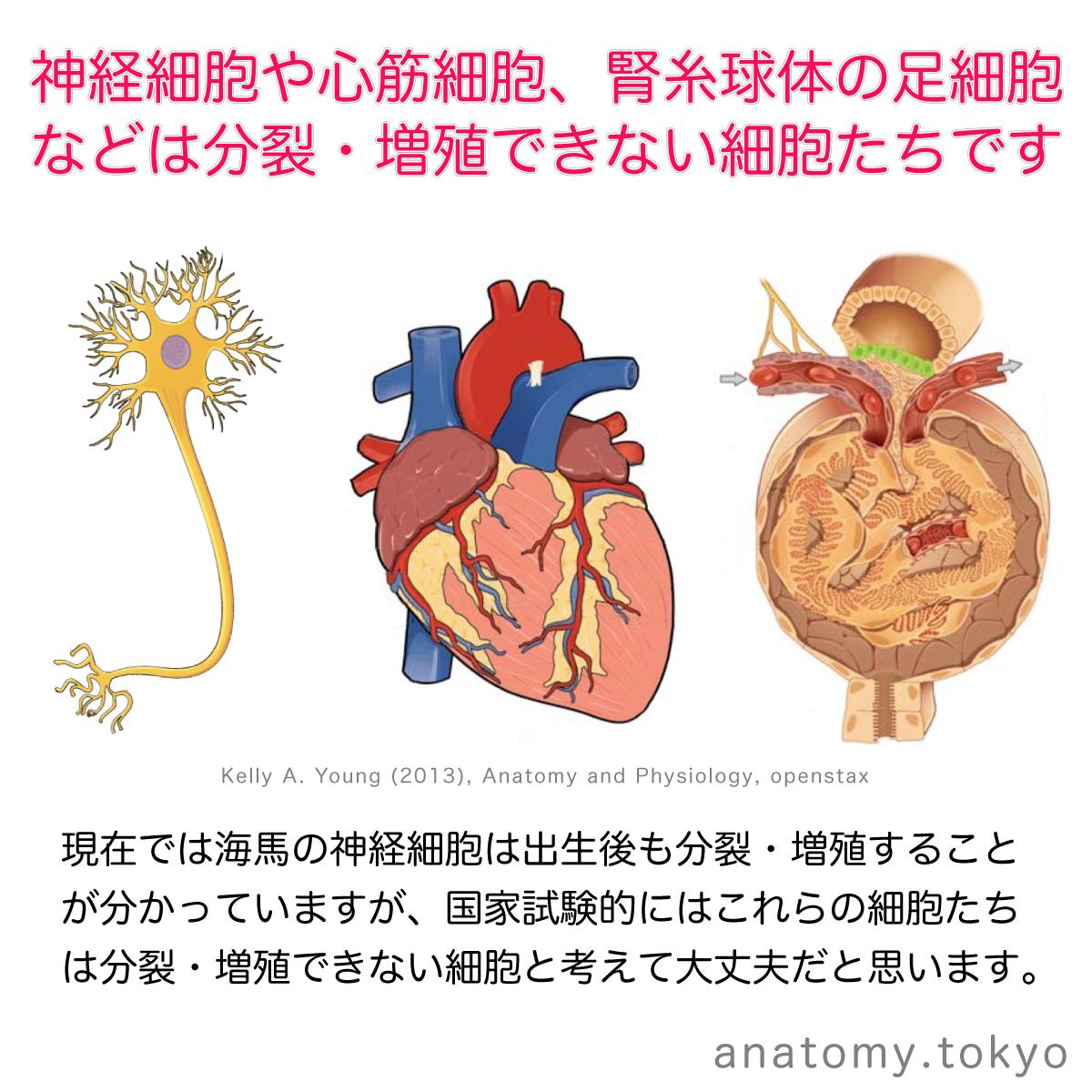 t112-01-分裂・増殖できない細胞.png