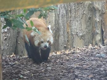 2018.06.30-048 panda roux