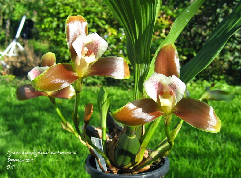 Lycaste macrophylla var puntarenasense L.macrophylla%2Bvar%2Bpuntarenasense%2Bmoi