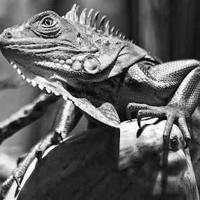 by Bill Frische - Animals Reptiles (  )