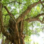 beautiful tree at zhongshan hall park in Taipei, T'ai-pei county, Taiwan