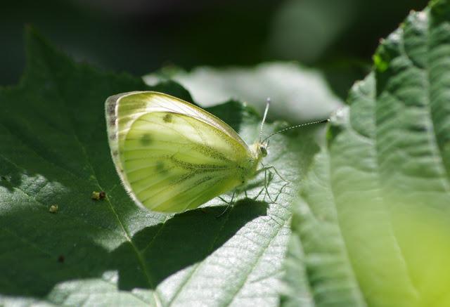 Pieris napi napi (L., 1758), femelle. Les Hautes-Lisières (Rouvres, 28), 6 juillet 2012. Photo : J.-M. Gayman