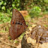 Charaxes protoclea protoclea FEISTHAMEL, 1850, mâle. Atewa Hills (Ghana), 6 janvier 2006. Photo : Henrik Bloch