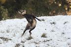 CHERCHE CAVALIERE  Jeune chamois de quelques mois s'amusant à bondir dans les premières neiges de Novembre