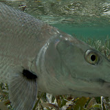Cat Cay Bonefish UW.jpg