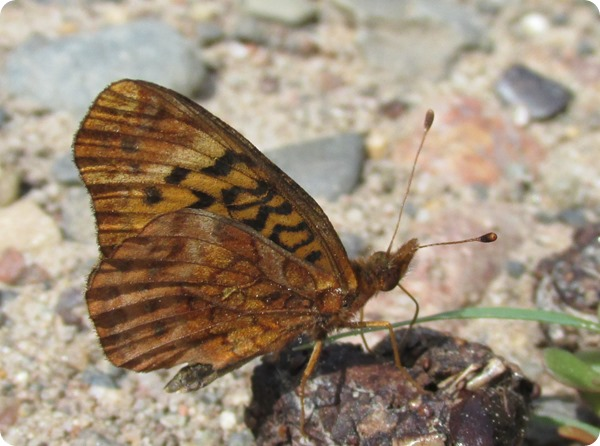 IMG_7570 Meadow Fritillary (Boloria bellona) Butterfly (11)