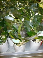 stefanotis bukietowy stephanotis floribunda