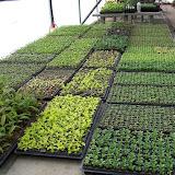 cultivo de plantas florales anuales - Copia%2Bde%2B100_0335.JPG
