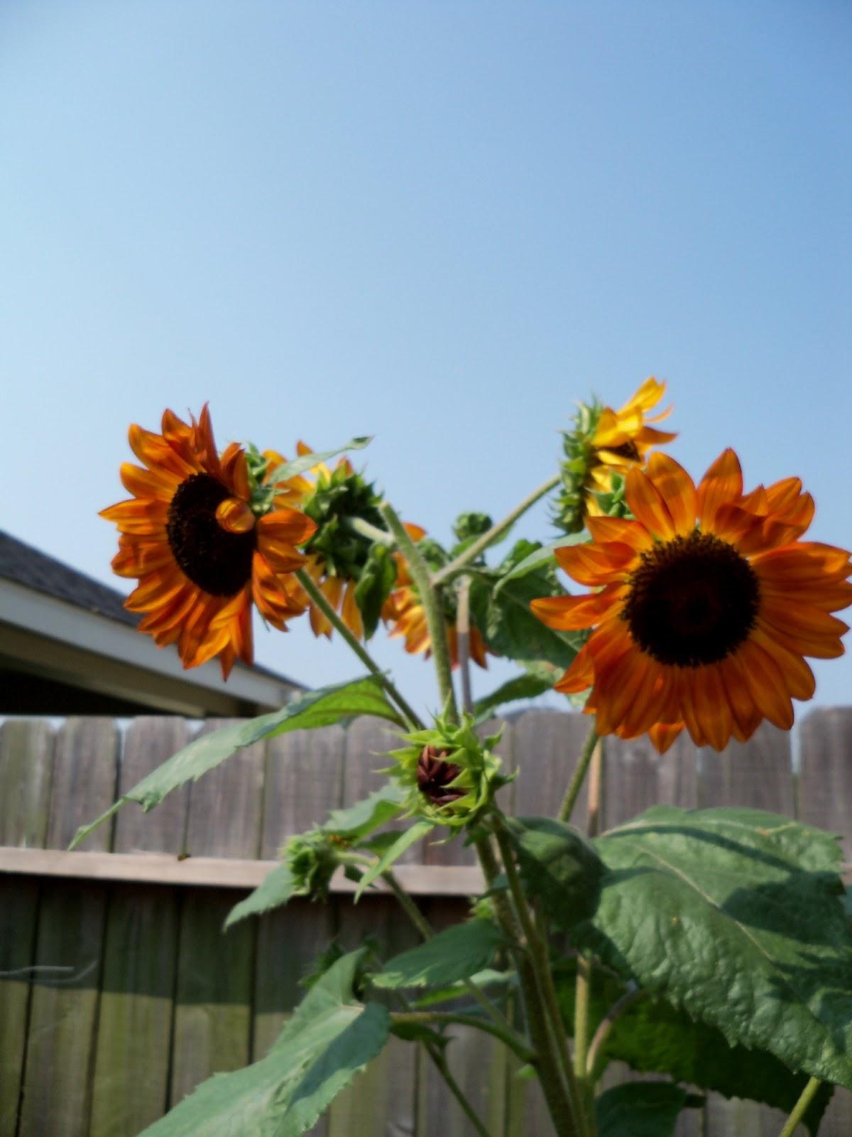 Gardening 2011 - 100_9455.JPG