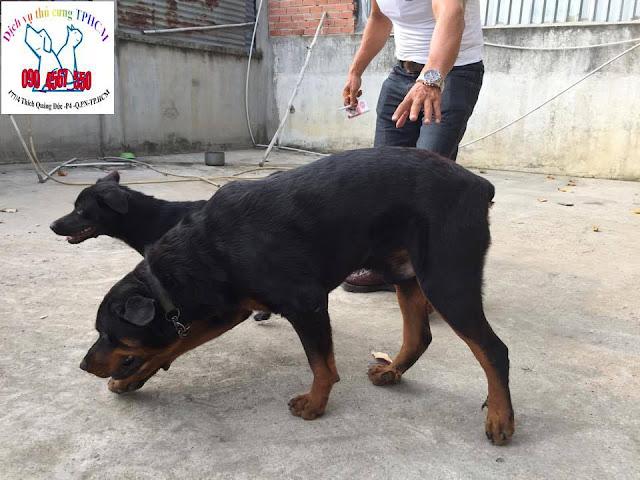 Dịch vụ thú cưng TPHCM - Địa chỉ & giá phối giống chó Rottweiler ở Hà Nội và TPHCM