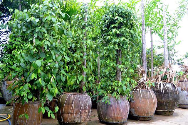Tiêu trồng… trong chậu vẫn chi chít quả - 55dcf7d3e82a2