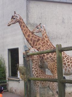 2008.07.01-057 girafes